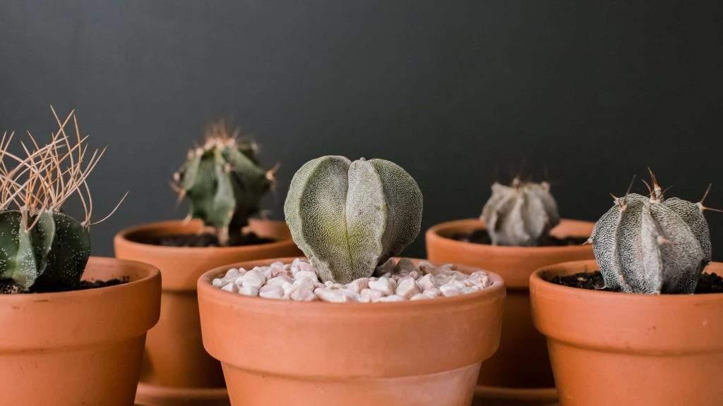 star cactus indoor plants